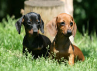 DachsHunds Pair