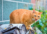 Overweight Ginger Cat